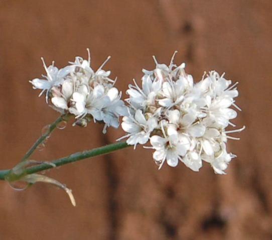 Gypsophila3